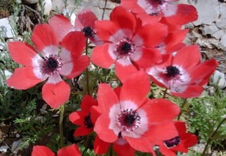 Raising Anemones From Seed