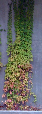 Virginia Creeper - Parthenocissus