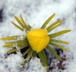 Winter Aconite–Eranthis