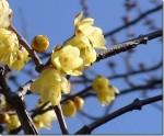 Winter Sweet – Chimonanthus