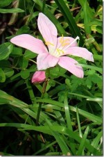 Zephyr Flower – Zephyranthes