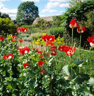 """The seedhead of 'Papaver somniferum' """"Danish Flag"""" is used for drying at Priorwood Garden, Melrose, Borders"""