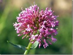 Centranthus – Common Valerian
