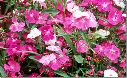 Diamond dianthus is available in a variety of colors and is a great cool-season partner for other plants like this flowering cabbage.