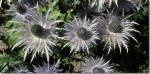 Eryngium – Sea Holly