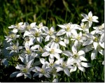 Growing Ornithogalums for Cut Flowers