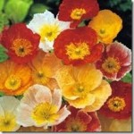 Outdoor cultivation of Papaver Nudicaule – Iceland Poppy