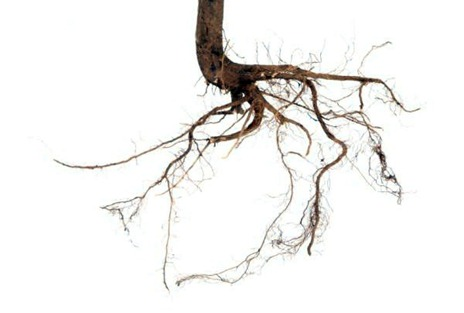The Acid Reaction of Roots