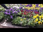 Growing Pansies And Violas Outdoors