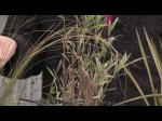 Growing Ornamental Grasses For Cutting