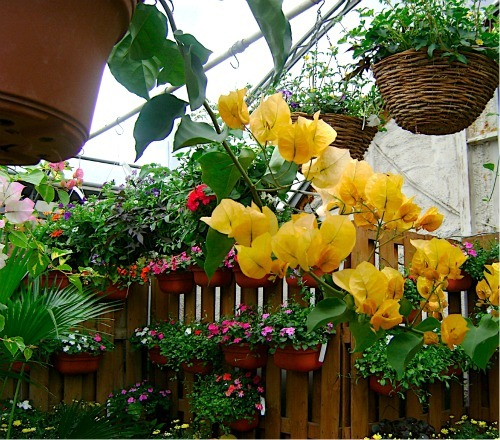 Annuals And Biennials For Window Boxes And Other Containers