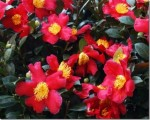 Growing Camelias As Garden Shrubs