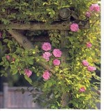 Basics Of Rose Cultivation
