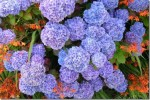 Hydrangea Cultivation