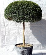 Trees For The Small Garden And Patio