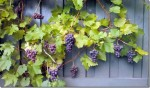 Vitis Grape Vine