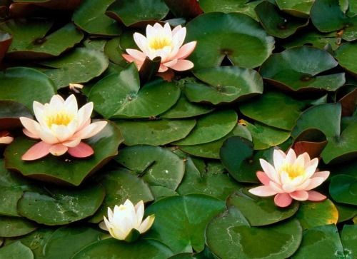 Planting aquatic plants for Japanese water plants