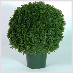 conifer in pot