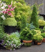 Conifers and Heathers For Patios And Pots