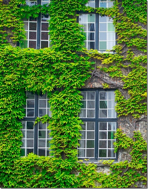 ivy on wall hedera