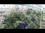 HANGING BASKETS IN THE GREENHOUSE