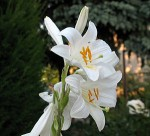 GROWING LILIES OUTDOORS