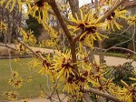 Hamamelis Witch hazel