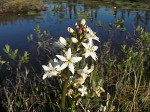 The bog bean – Menyanthes trifoliata