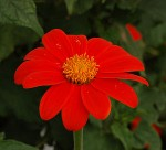 Mexican Sunflower – Tithonia rotundifolia