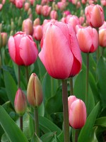 Tulipa species and dwarf hybrids