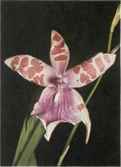 Miltonia  Tansy Orchid