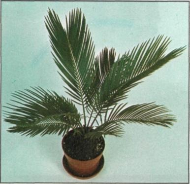 P. canariensis  for growing as a houseplant