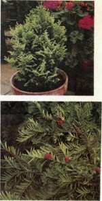 Best conifers for container gardening