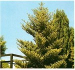 Abies Silver fir
