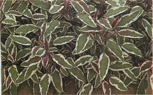 ideal foliage plant for container gardening