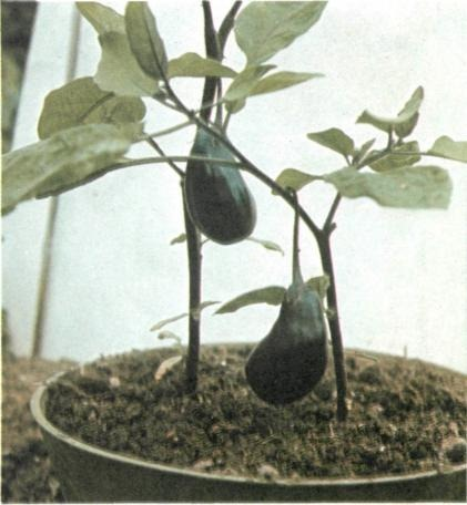 growing aubergines or eggplants in containers
