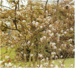 Growing Guide: Amelanchier – June Berry
