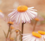 Growing Guide: Aster – Michaelmas Daisy
