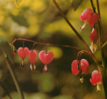Growing Guide: Dicentra – Bleeding Heart