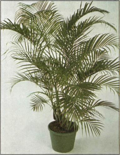 Best Palms To Grow Indoors As Houseplants