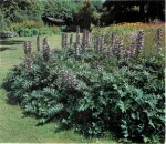 HARDY PERENNIALS: ACANTHUS