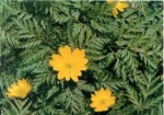 HARDY PERENNIALS: ADONIS