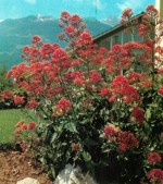 HARDY PERENNIALS: CENTRANTHUS