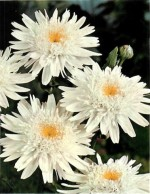 HARDY PERENNIALS: CHRYSANTHEMUM