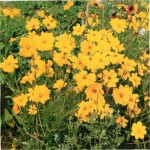 HARDY PERENNIALS: COREOPSIS