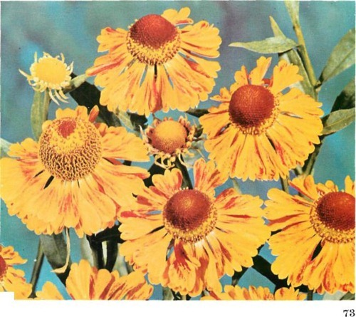HELENIUM 'Gold Fox'