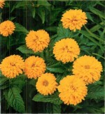 HARDY PERENNIALS: HELIOPSIS