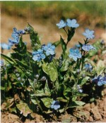 HARDY PERENNIALS: OMPHALODES