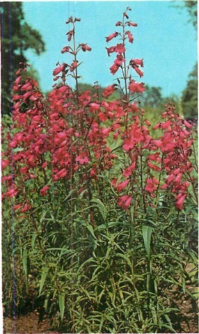 PENSTEMON Garnet