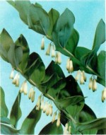 HARDY PERENNIALS: POLYGONATUM